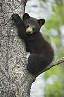 Black Bear (Ursus americanus) cub sleeping in tree