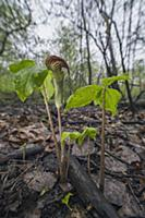 Jack In The Pulpit (Arisaema triphyllum) flower, L
