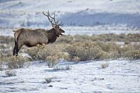Elk (Cervus elaphus) bull bugling in winter, Yello