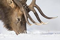 Elk (Cervus elaphus) bull searching for food in sn