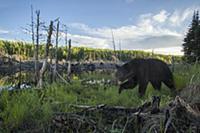 Black Bear (Ursus americanus) in swamp, Superior N