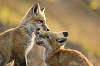 Red Fox (Vulpes vulpes) kits playing, Burnsville,