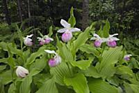 Showy Lady's Slipper (Cypripedium reginae) flowers