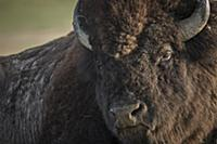 American Bison (Bison bison), Badlands National Pa