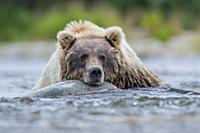 Brown Bear (Ursus arctos) resting in river, Katmai