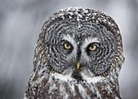 Great Gray Owl (Strix nebulosa) during snowfall, S
