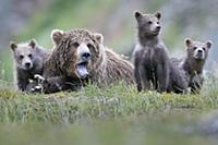 Brown Bear (Ursus arctos) yawning mother and cubs,