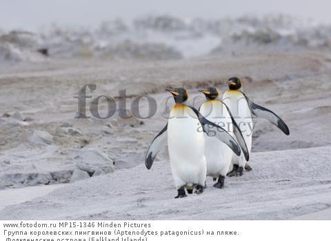 Группа королевских пингвинов (Aptenodytes patagonicus) на пляже. Фолклендские острова (Falkland Islands).