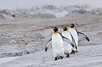 Группа королевских пингвинов (Aptenodytes patagoni
