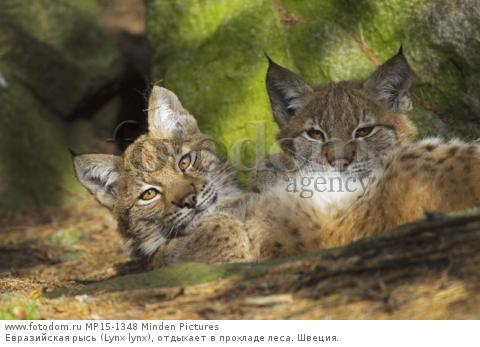 Евразийская рысь (Lynx lynx), отдыхает в прохладе леса. Швеция.