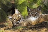 Евразийская рысь (Lynx lynx), отдыхает в прохладе