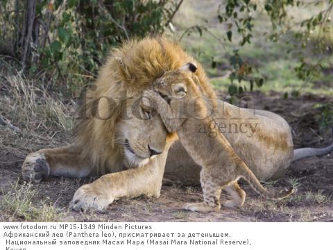 Африканский лев (Panthera leo), присматривает за детенышем. Национальный заповедник Масаи Мара (Masai Mara National Reserve), Кения
