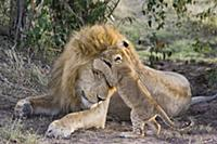 Африканский лев (Panthera leo), присматривает за д