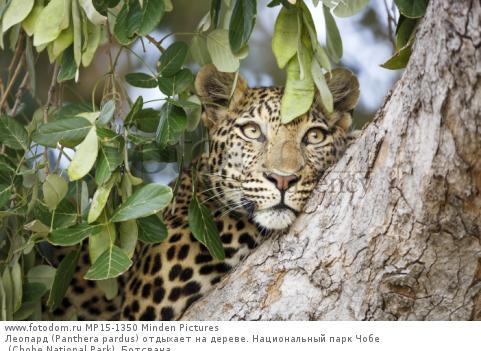 Леопард (Panthera pardus) отдыхает на дереве. Национальный парк Чобе (Chobe National Park), Ботсвана.