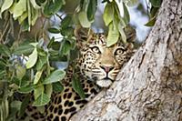 Леопард (Panthera pardus) отдыхает на дереве. Наци