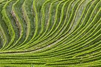 Огромные рисовые поля (Oryza sp), Гуанси (Guangxi)