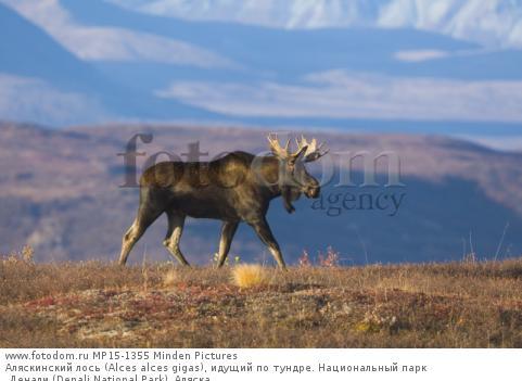 Аляскинский лось (Alces alces gigas), идущий по тундре. Национальный парк Денали (Denali National Park), Аляска.