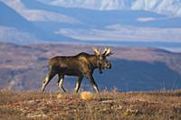 Аляскинский лось (Alces alces gigas), идущий по ту