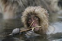 Japanese Macaque (Macaca fuscata) young feeding on