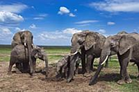 African Elephant (Loxodonta africana) herd feeding
