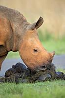White Rhinoceros (Ceratotherium simum) calf eating