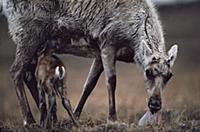 Caribou (Rangifer tarandus) of the Porcupine Herd,