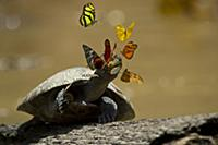 Yellow-spotted Amazon River Turtle (Podocnemis uni