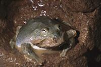 Water-holding Frog (Cyclorana platycephala) eating