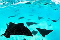 Spotted Eagle Ray (Aetobatus narinari) group, Sant