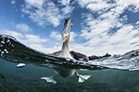 Brown Pelican (Pelecanus occidentalis) on water, U