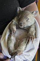 Common Wombat (Vombatus ursinus) six month old orp