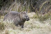 Common Wombat (Vombatus ursinus), Cradle Mountain-