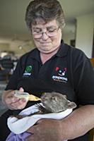 Common Wombat (Vombatus ursinus) foster mother, Li