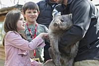 Common Wombat (Vombatus ursinus) orphan met by chi