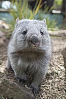 Common Wombat (Vombatus ursinus) orphan, Bonorong