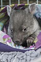 Common Wombat (Vombatus ursinus) five month old or