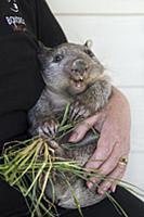 Common Wombat (Vombatus ursinus) seven month old o