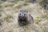 Common Wombat (Vombatus ursinus) grazing, Cradle M