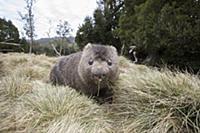 Common Wombat (Vombatus ursinus)feeding, Cradle Mo