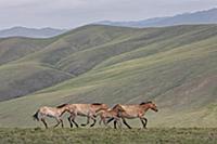 Лошадь Пржевальского (Equus ferus przewalskii) коб