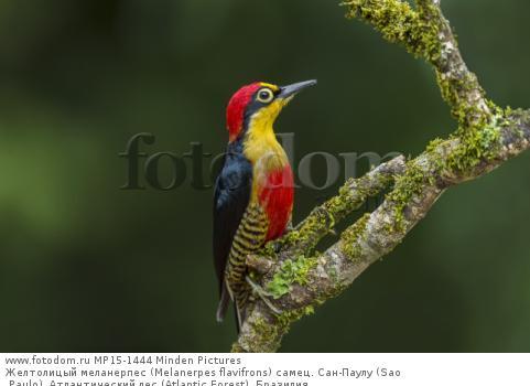 Желтолицый меланерпес (Melanerpes flavifrons) самец. Сан-Паулу (Sao Paulo), Атлантический лес (Atlantic Forest), Бразилия.