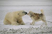 Polar Bear (Ursus maritimus) investigating chained
