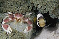 Spotted Anemone Crab (Neopetrolisthes maculatus) a
