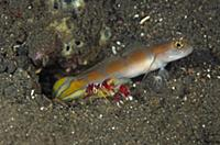 Goby (Amblyeleotris sp) keeping watch while a Snap