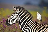 Burchell's Zebra (Equus burchellii) and Cattle Egr