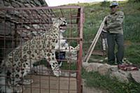 Snow Leopard (Uncia uncia) confiscated by governme