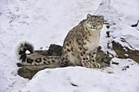 Snow Leopard (Uncia uncia), Switzerland