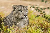 Snow Leopard (Uncia uncia), native to Asia
