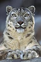 Snow Leopard (Uncia uncia) portrait, native to mou
