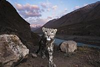 Snow Leopard (Panthera uncia) wild female, wet aft